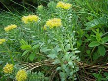 Rhodiola Rosea Reviews