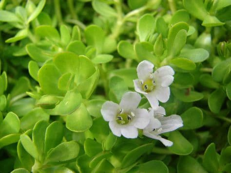 bacopa monnieri review