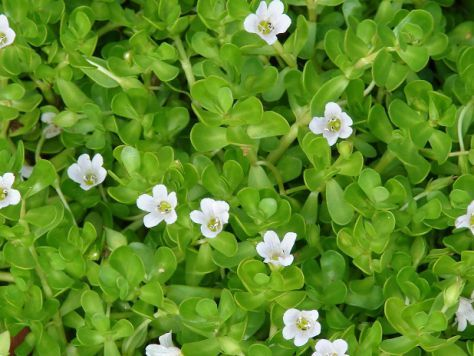 Bacopa Monnieri Dosage