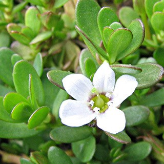 Bacopa Monnieri Benefits