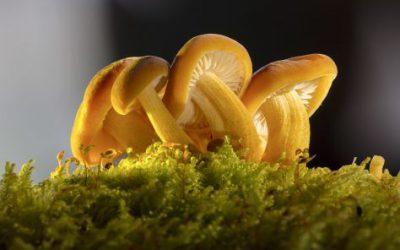 Mushrooms that lower cholesterol