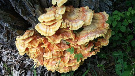 Reishi mushroom dosage