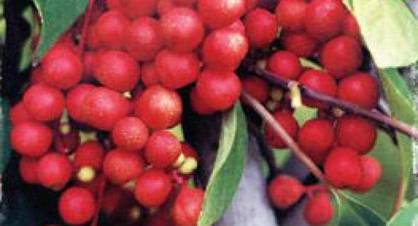 schizandra berry benefits for men