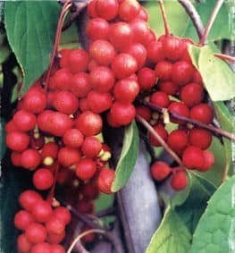 schizandra berry benefits for men