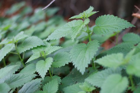 Nettle Tincture Benefits