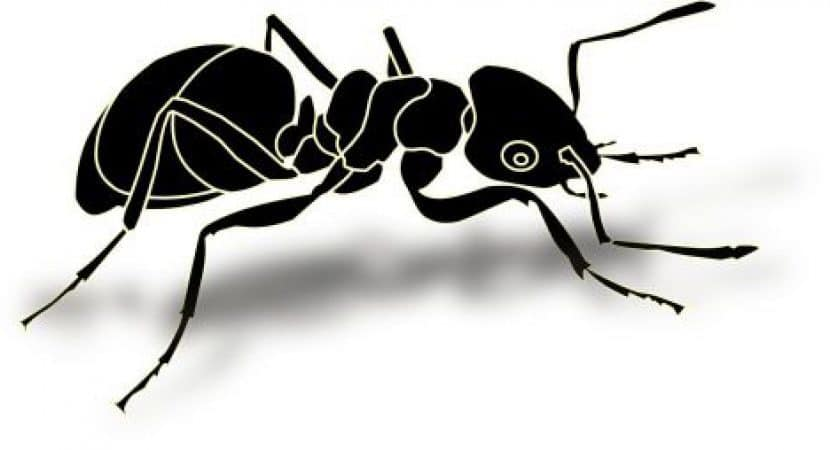black ant erection