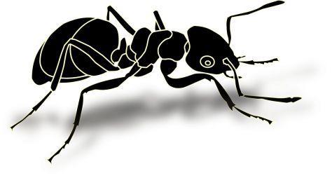 black ant erection