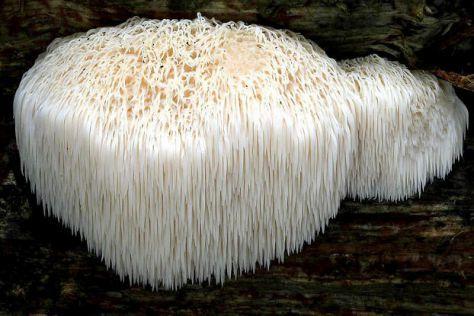lion mane mushroom dosage