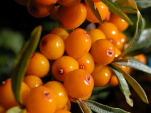 Sea Buckthorn Berry Powder