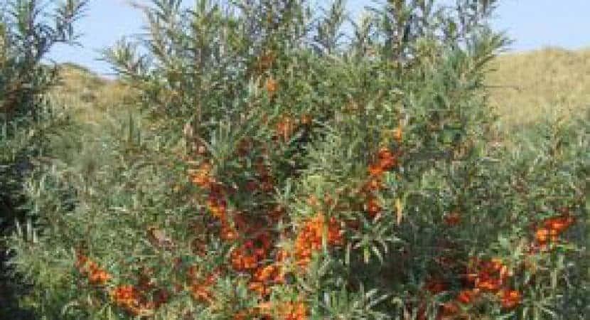 sea buckthorn berry dose