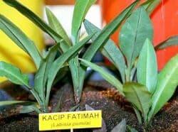 Kacip Fatimah Benefits