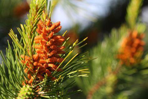 health benefits of pine pollen