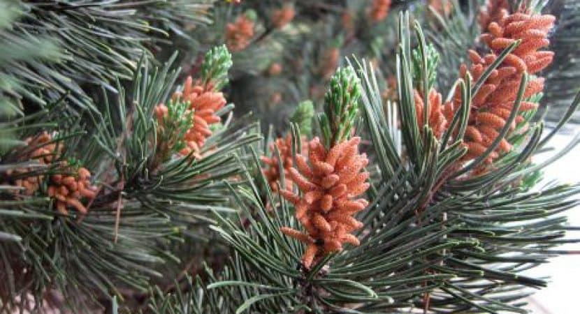 pine pollen tincture benefits