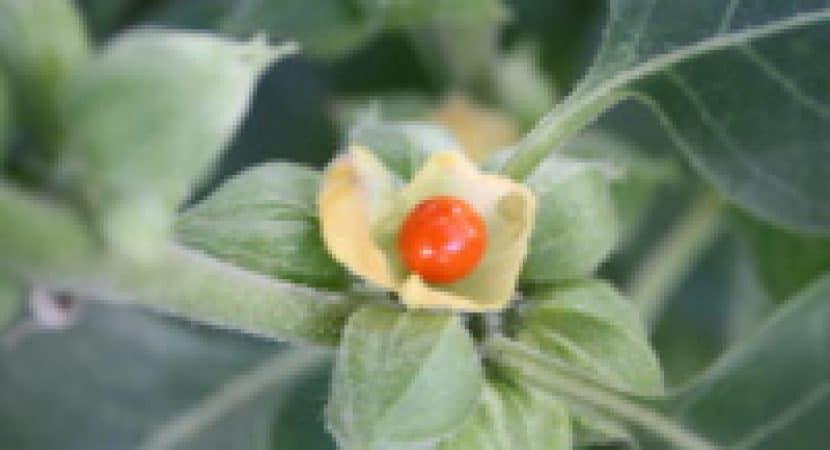 ashwagandha tincture benefits