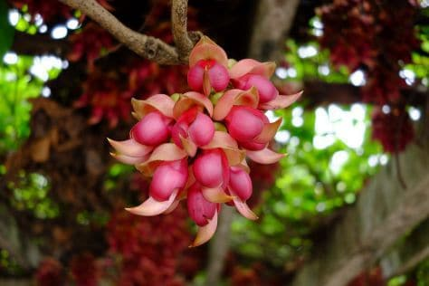 Mucuna Pruriens Dosage For Libido