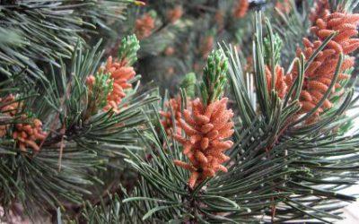 Pine Pollen Tincture Vs Pine Pollen Powder Featured
