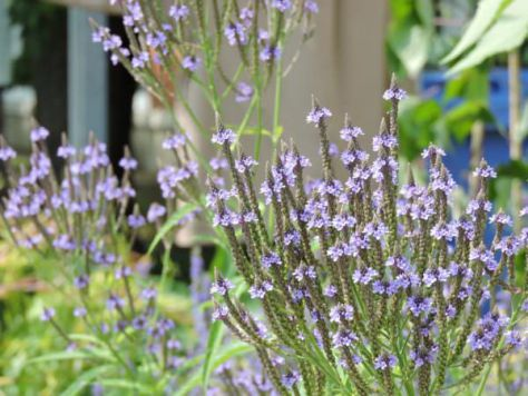 Blue Vervain Medicinal Uses