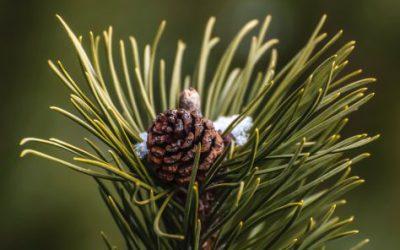 Buy Pine Pollen Capsules