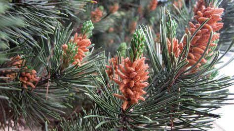Pine Pollen Erections
