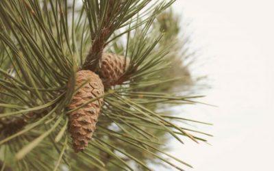 Pine Pollen Powder Vs Tincture