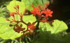 Auragin Korean Red Ginseng