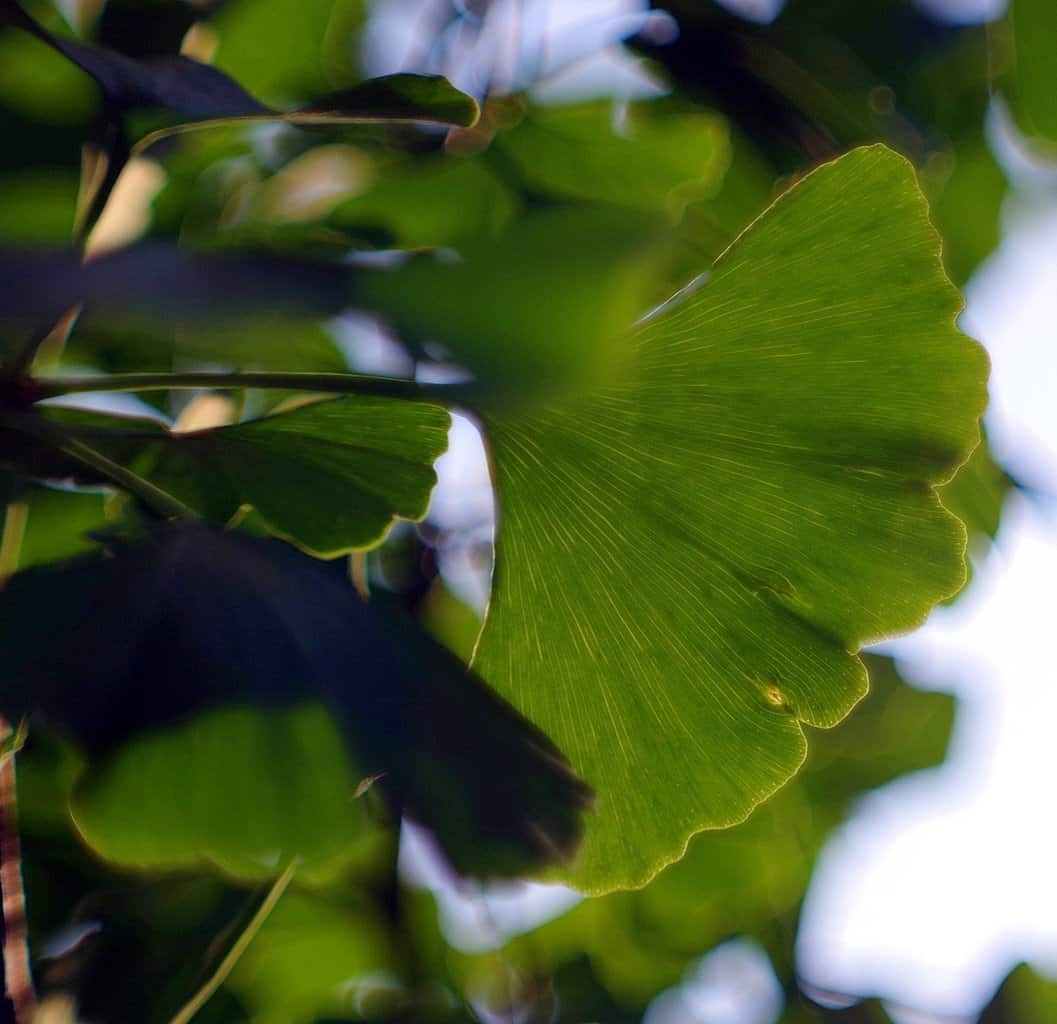 How Long Does It Take For Ginkgo Biloba To Work For ED